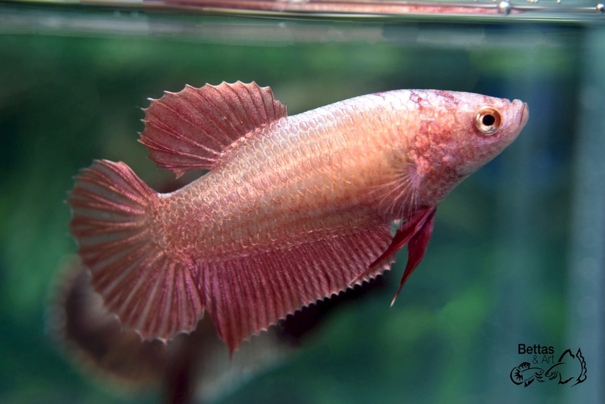 Imported Red Gold HMPK Female